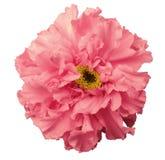 Blomman rosa färg, med dagg, vit isolerade bakgrund med den snabba banan Inget skuggar royaltyfri foto