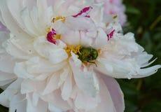 blomman rosa färgen, naturen, blommor, lilor, trädgården, krysantemumet, växten, makroen som är blom-, blomstrar, fjädrar, lilan, Fotografering för Bildbyråer