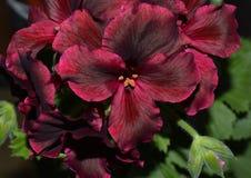 blomman rosa färgen, naturen, blommor, lilor, trädgården, krysantemumet, växten, makroen som är blom-, blomstrar, fjädrar, lilan, Arkivfoto