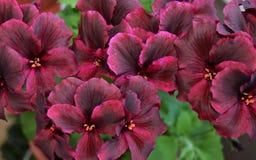 blomman rosa färgen, naturen, blommor, lilor, trädgården, krysantemumet, växten, makroen som är blom-, blomstrar, fjädrar, lilan, Arkivbilder