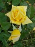 blomman steg royaltyfri foto
