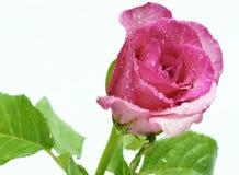 blomman steg Royaltyfri Bild