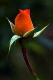 blomman steg Arkivfoto