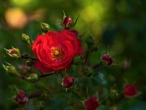 blomman steg Royaltyfria Foton