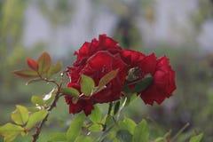 Blomman steg trädgårdnaturen fotografering för bildbyråer