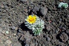 Blomman växer på stenar Arkivfoto