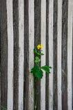 Blomman växer till och med ett staket Arkivbild