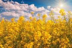 blomman våldtar yellow Royaltyfri Foto