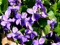 blommanaturviolet Royaltyfria Foton