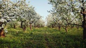Blommande äpplefruktträdgård stock video