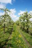 Blommande äpplefruktträdgård i vår 1 Arkivbild