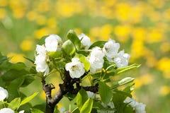 Blommande äppleträd 2 Royaltyfri Fotografi