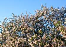Blommande äppleträd i bygden arkivbilder