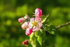 Blommande äppleträd i bygden royaltyfria foton