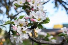 Blommande äppleträd i bygden fotografering för bildbyråer