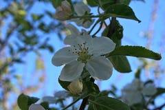 Blommande äppleträd i vår Vår börja som är nytt Arkivfoton
