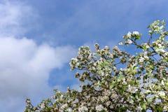 Blommande äppleträd på bakgrund för blå himmel Royaltyfria Foton