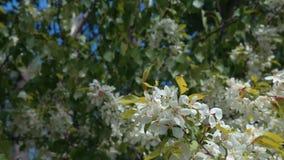 Blommande äppleträd på den blåa himlen stock video