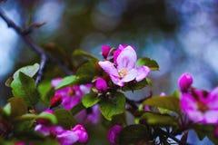 Blommande äppleträd på en filial Fotografering för Bildbyråer
