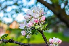Blommande äppleträd på våren arkivfoton