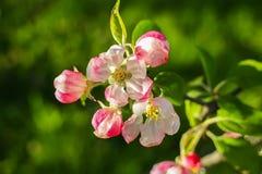 Blommande äppleträd på våren i bygd arkivfoton