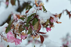 Blommande äppleträd under snön Royaltyfria Bilder