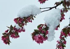 Blommande äppleträd under snön Arkivfoto