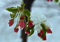 Blommande äppleträd under snön Fotografering för Bildbyråer