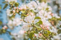 Blommande äppleträdfilial i fruktträdgården, närbild Tonat foto Royaltyfria Foton