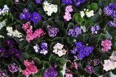 Blommande afrikanska violets arkivfoto
