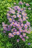 Blommande alpin asterasteralpinus Arkivfoto