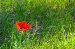Blommande anemoner Arkivfoto