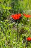 Blommande anemoner Fotografering för Bildbyråer