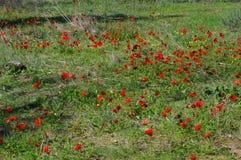 Blommande anemonfält Royaltyfri Foto