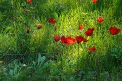 Blommande anemonfält Royaltyfria Bilder