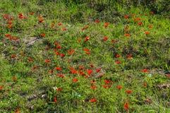 Blommande anemonfält Arkivfoton