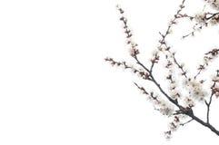 Blommande aprikosfilialer royaltyfria bilder