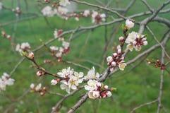 Blommande aprikosris Royaltyfri Bild
