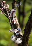 Blommande aprikosträd Royaltyfri Bild