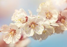 Blommande aprikosträd royaltyfri fotografi