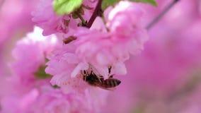 Blommande aprikosträd, i att pollinera för vårhonungbin close upp långsam rörelse arkivfilmer