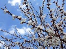 Blommande aprikosträd under blå himmel med moln arkivbild