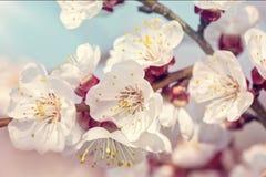 Blommande aprikostr?d royaltyfri foto
