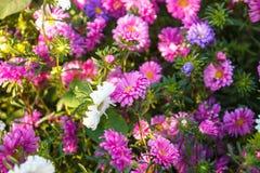 blommande aster i blomsterrabatt Arkivbild