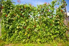 Blommande bönor Arkivfoton