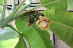 Blommande banan-träd Arkivfoto