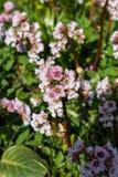 Blommande Bergenia Arkivbilder