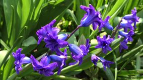 Blommande blå hyacint i trädgården stock video
