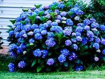Blommande blå vanlig hortensia Arkivbild
