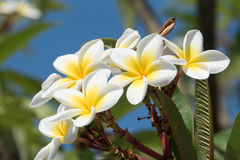Blommande blomma av Plumeria eller frangipanis royaltyfria foton